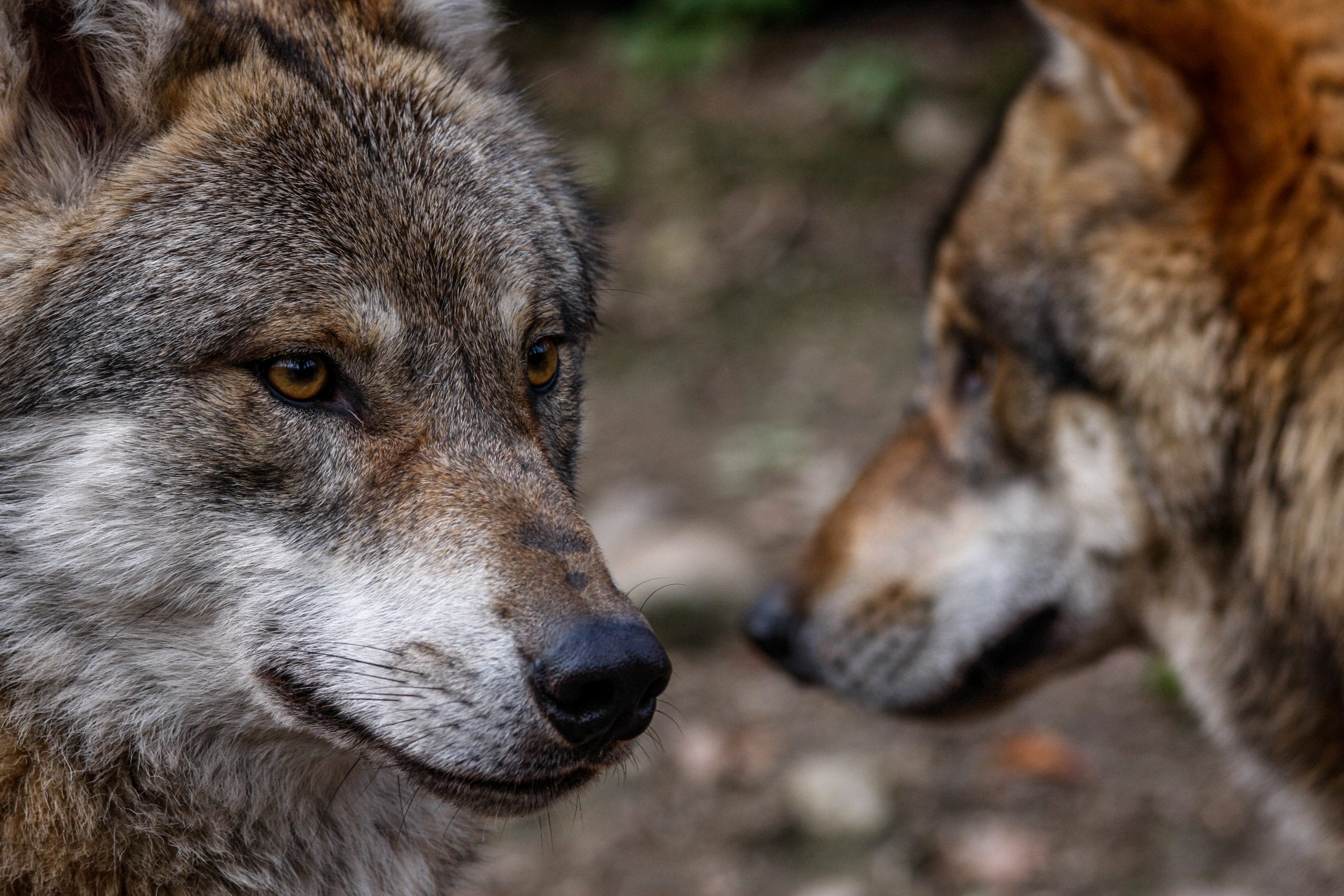 Cherokee Story of two wolves